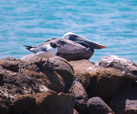 The Pelican and the Gull take a rest together. Talk about a bizarre relationship.